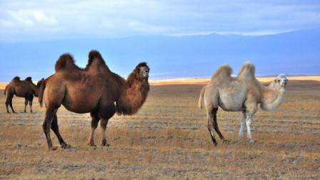 喝水太多?澳大利亚已射杀5000头骆驼 此前宣称将杀1万头