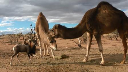 山羊想抢草吃,却被2只骆驼降维打击,简直是奇耻大辱
