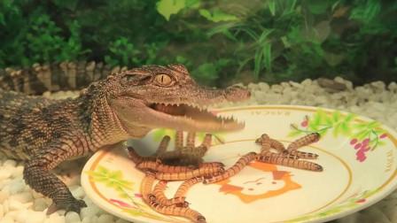 鳄鱼吃虫子吗? 凶猛鳄鱼的晚餐竟然是一盘会蠕动的虫子!