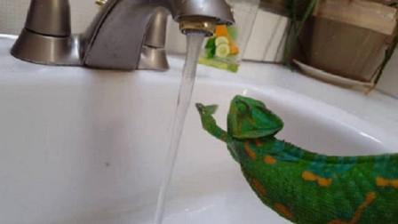 当变色龙遇到自来水后,会变成啥颜色?结果让人意外!