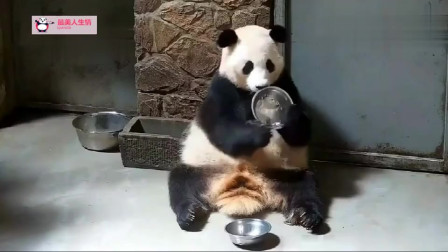 熊猫:奶爸交代过,不把饭盆刷得锃光瓦亮就不给出去玩
