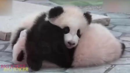 熊猫宝宝被压得喘不过气来:走开,自己多重,心里没点数吗?