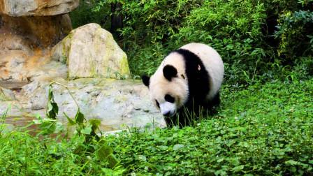 我国的国宝大熊猫死后,会怎样处理它们的尸体?看完让人心酸不已