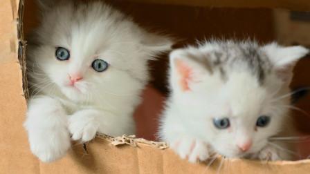 三个刚满月的小奶猫努力翻出箱子,最笨的那只脸先着地,蠢萌蠢萌的