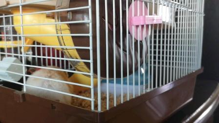 仓鼠小笼里吃食视频