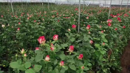 月季小黑:厄瓜多尔Royal玫瑰苗圃