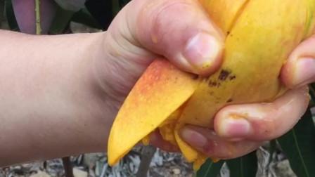 来吃芒果呀
