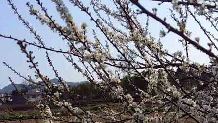 生活-日常001 春暖花开的季节-李花 原生态自然美景
