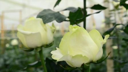 月季小黑:RioRose玫瑰苗圃