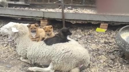 三只小奶狗坐在羊身上取暖,这个座驾真好
