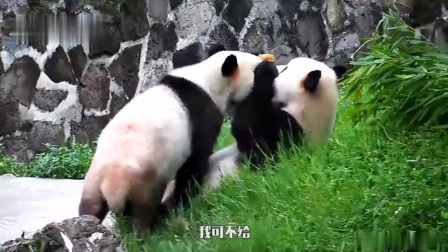 熊猫:什么叫坚持不懈,什么叫锲而不舍,让大熊猫来为你你演绎