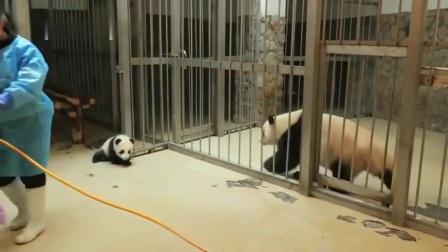 熊猫:熊猫宝宝一言不合就越狱,结果被妈妈发现,好戏开始了