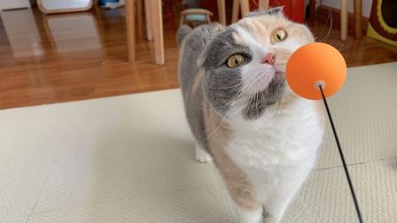 买了个乒乓球训练器,猫玩的比我还开心,最后还来了段抖肩舞