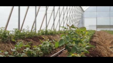 月季小黑:Luxaflor玫瑰苗圃
