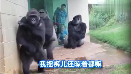 搞笑大猩猩:配音太有才了!