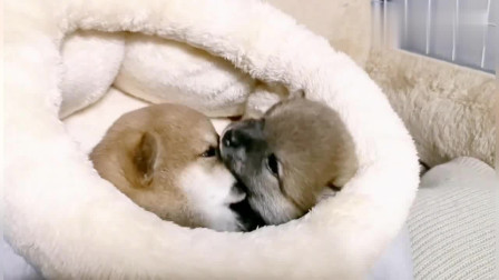 萌化了:两只小奶狗要一直相亲相爱啊