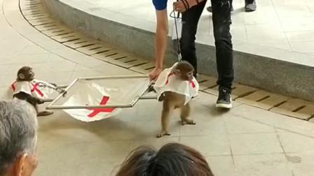 猴哥也是真皮,不知道是人耍猴还是猴耍人,真是太逗了!
