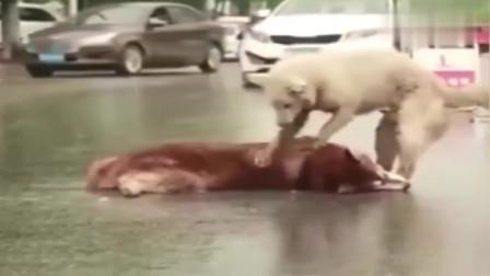 看到自己的小伙伴失去了生命,狗狗哭得浑身发抖