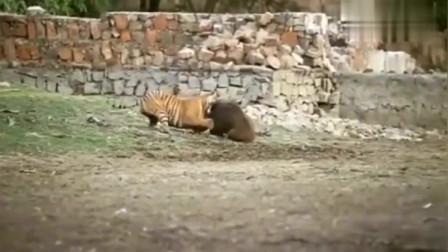 老虎 你就认命吧!