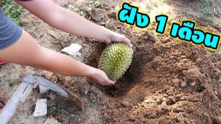 将榴莲埋进土里能种出果实吗?男子奇葩实验,3个月后挖出当场傻眼