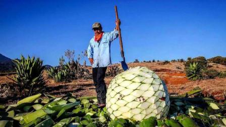 世界上最大的果实,生长周期需要8年,是酿造美酒的顶级材料!