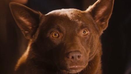 真事改编的电影,主人意外死去,狗狗为找他竟穿越整个澳大利亚!