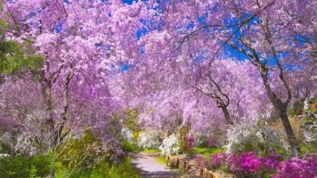 武汉:待到春暖花开时,我们一起去看樱花吧