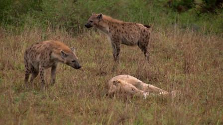 狮子不屑和鬣狗开战,不料鬣狗却疯狂试探,下一秒瞬间怂了