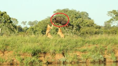 一只角马被母狮群围攻,下一秒竟戏剧性的逃脱包围圈,令人震撼!