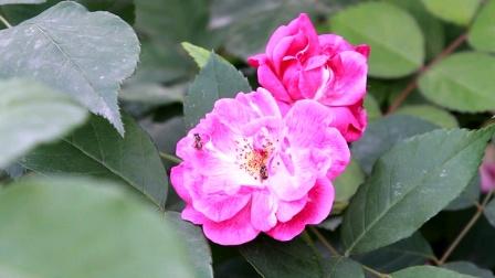 20200412营山帝怡湾小区围墙上的蔷薇花【1080P】--8分40秒★