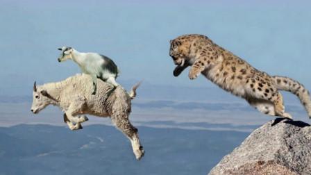 山羊为了保护孩子,竟一步步将雪豹引向悬崖,镜头记录惊险一幕