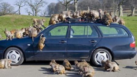 游客不听劝,非要将车开进野生动物园,这下后悔都来不及!