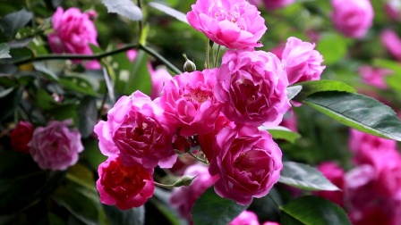 20200413营山帝怡湾小区漂亮的蔷薇花【1080P】-11分42秒