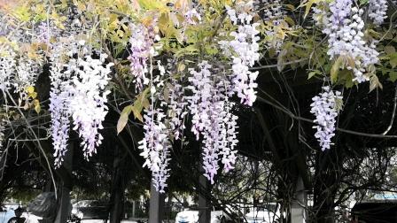 紫藤花下春色秀