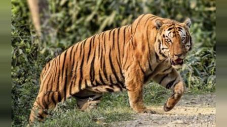 【老虎】体重超过300KG的卡齐兰加国王,超级野生虎