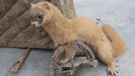 黄鼠狼到底是什么?它常在农民家里出没,到底算不算好事?