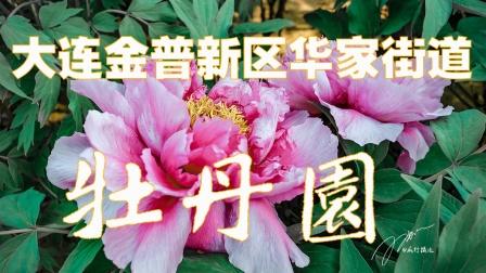 大连金普新区华家牡丹园棚内赏牡丹,那叫一个国色天香,花香富贵