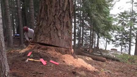 年的参天大树,几锯子就给放倒了!