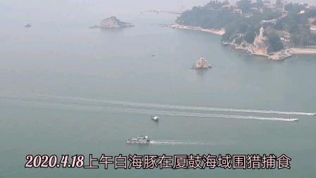 中华白海豚现厦鼓海域