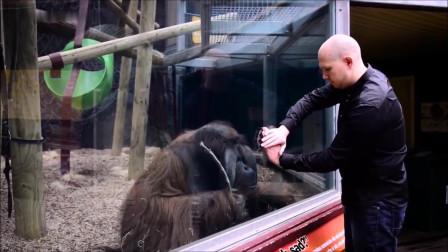猴子对魔术的反应,爆笑