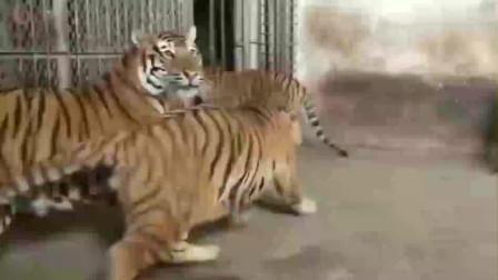 问这些老虎到底看到了什么