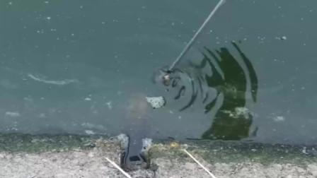 大黄鳝绝对饿疯了,看见诱饵就猛咬上去,太疯狂了!