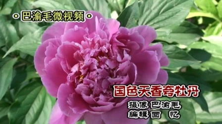【原创】巴渝毛微视频/《国色天香夸牡丹》