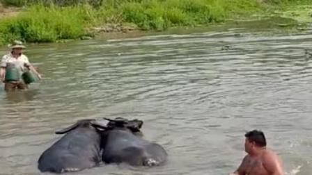 村里的两头牛在水塘里干起来了,村民都跑来劝架,看上去一发不可收拾!