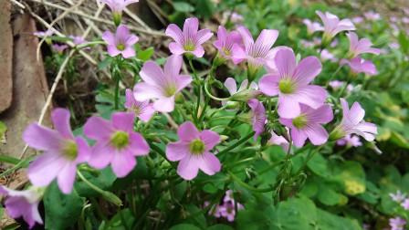 生活百科30-认识榨浆草花 捕捉精彩的瞬间 原生态自然景观