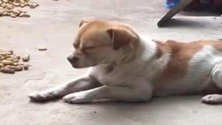 狗子昨夜是去当贼了吧,竟然在院里打瞌睡,厉害了