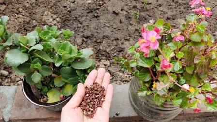 花椒养花真是好,不施肥不喷药,根壮叶茂开花多,早点提醒家里人