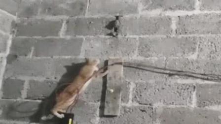 猫子大半夜的爬墙抓老鼠,刚开始还以为是个王者,结果连青铜都不如!