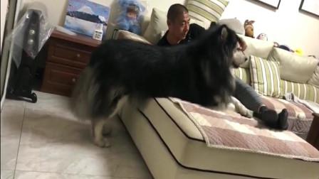有的老爸表面不喜欢阿拉斯加,背地里和狗狗玩的开心