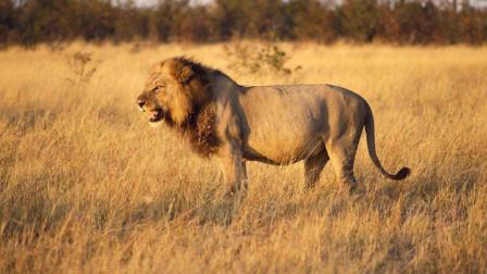雄狮与老虎性格的差异,为何动物园里的雄狮性格更为强势?